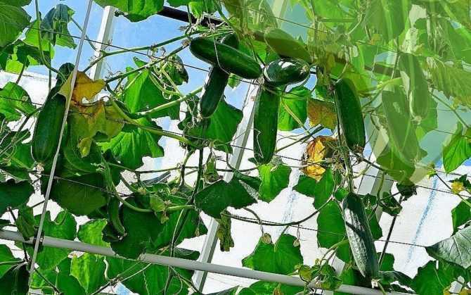 Что нужно знать при выращивании огурцов