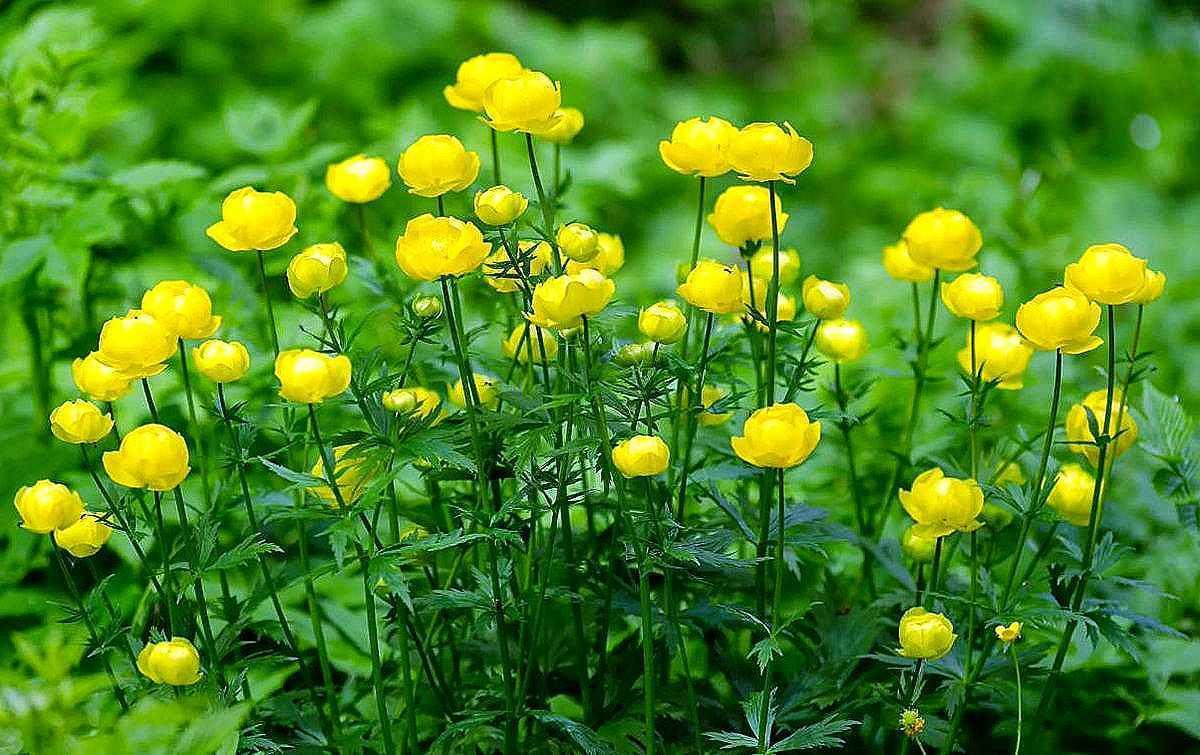 Цветок тролля – троллиус (купальница)