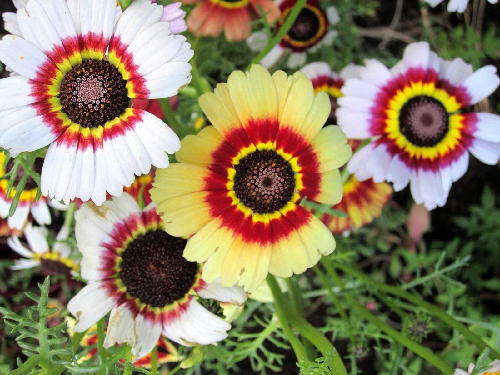 Венидиум - однолетник, который порадует вас своим цветением до осени