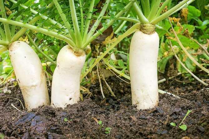 Правила выращивания дайкона в открытом грунте