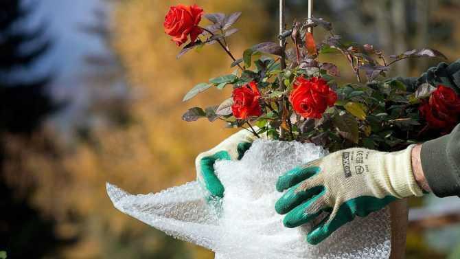 Как сохранить розы зимой?