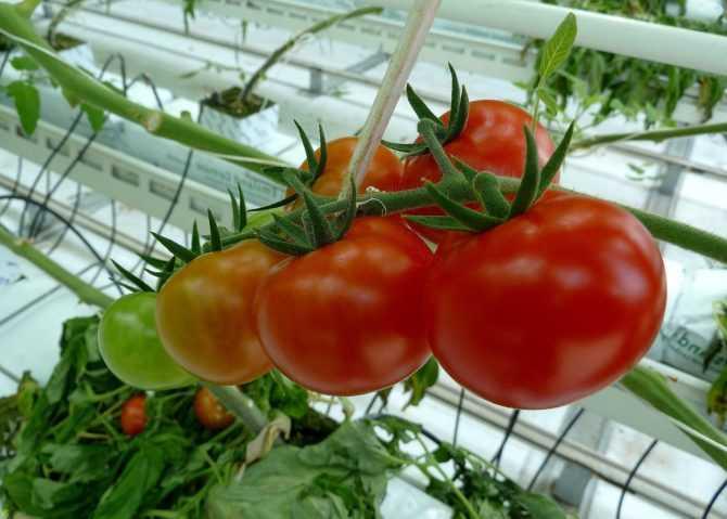 Выращивание томата в осенне-зимний период