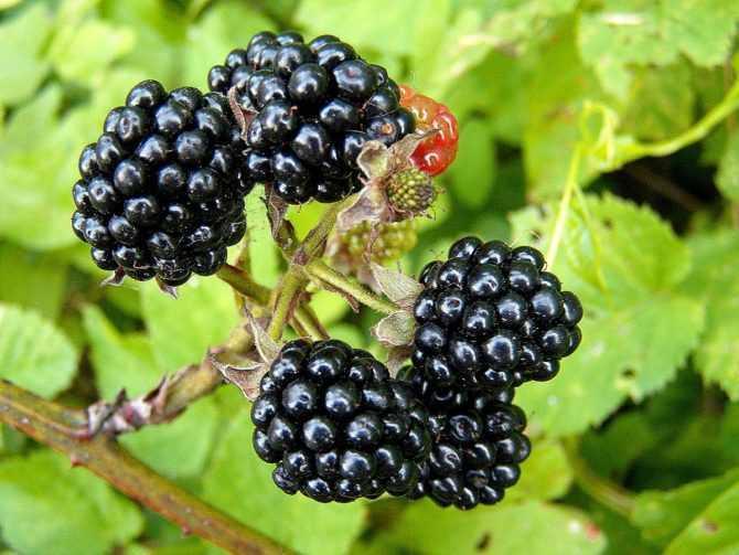 Ежевика — перспективная ягодная культура