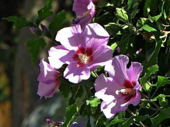 Цветок гибискуса (Сирийский гибискус) - сорта, выращивание, уход, цветение