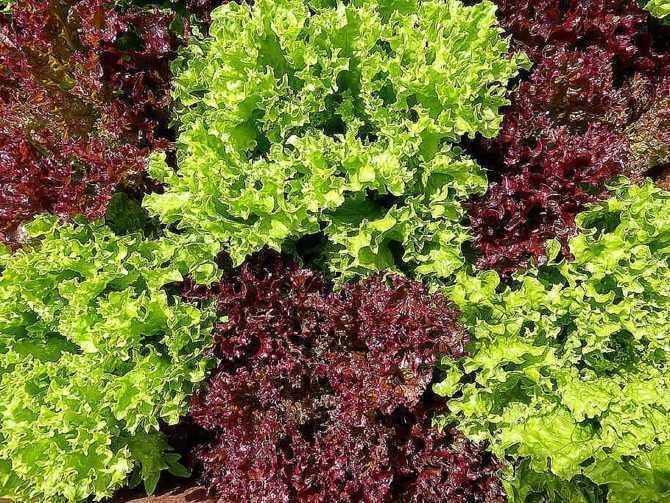 Как организовать зеленый конвейер из салата, петрушки и шпината