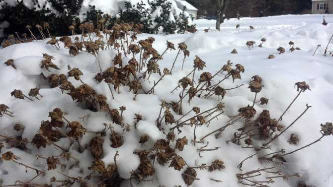 Хризантемы - «Краски осени невозможны без яркости и аромата хризантем»
