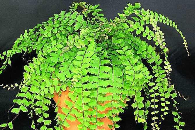 Адиантум (венерин волос): уход в домашних условиях, виды растения, почва для пересадки, болезни